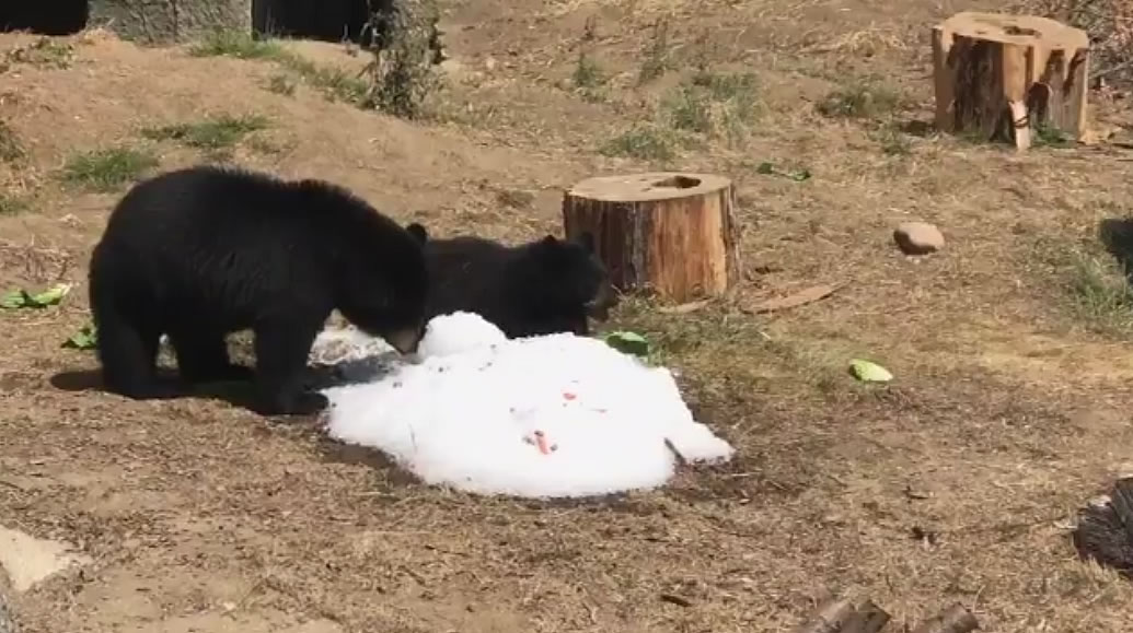 <div class='meta'><div class='origin-logo' data-origin='none'></div><span class='caption-text' data-credit='@BloomTV/Twitter'>Black bears are seen cooling off in man-made snow at the San Francisco Zoo on Friday, September 1, 2017.</span></div>