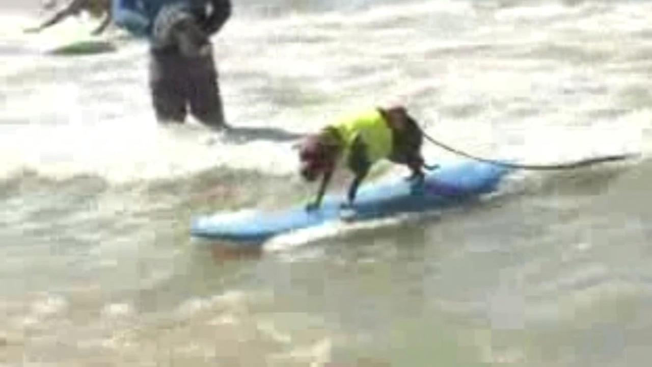 A dog surfs in the Surf City Dog Competition in Huntington Beach, Calif. on Sunday, September 27, 2015.