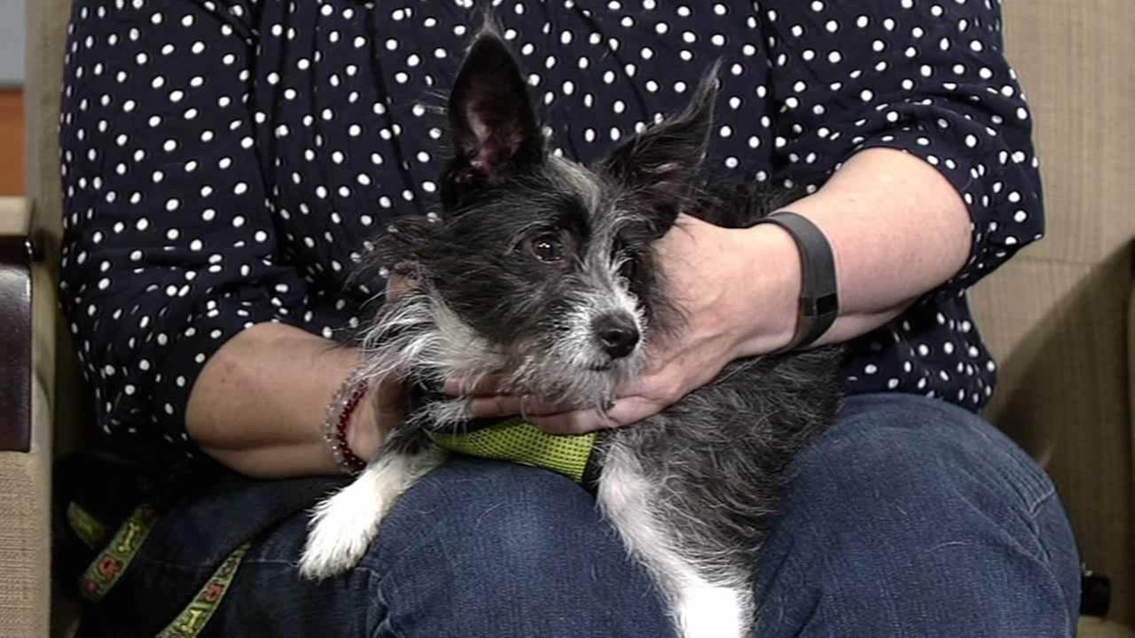 Meet Bandit, a 1-year-old wire fox and rat terrier mix available at the East Bay SPCA.