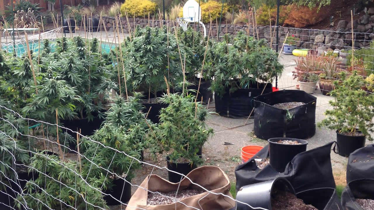 This undated image shows marijuana plants in the backyard of a home in San Rafael, Calif. that was raided by the Marin County Crimes Task Force.
