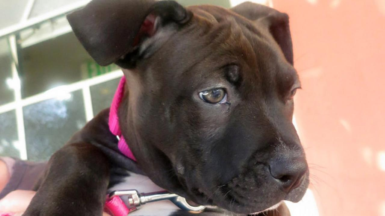 San Francisco Animal Care and Control says a 2-month old pit bull puppy named Louie was stolen on Thursday, October 8, 2015.