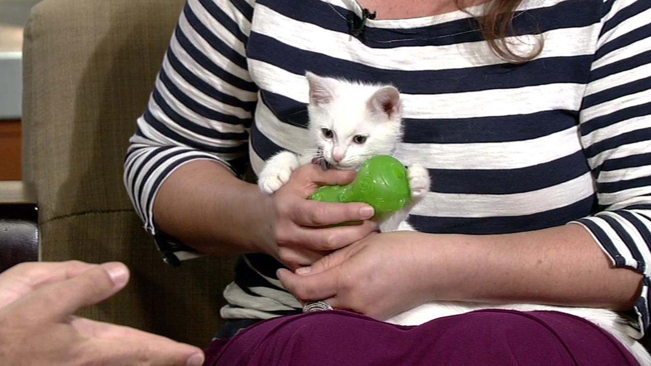 Reggie the kitten available for adoption at the Marin Humane Society (415) 506-6225.