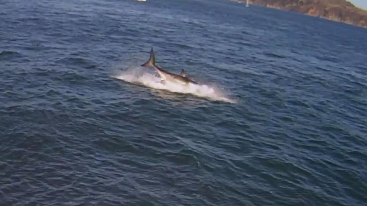Cell phone video captured a great white shark eating a seal in the San Francisco Bay last month near Alcatraz.