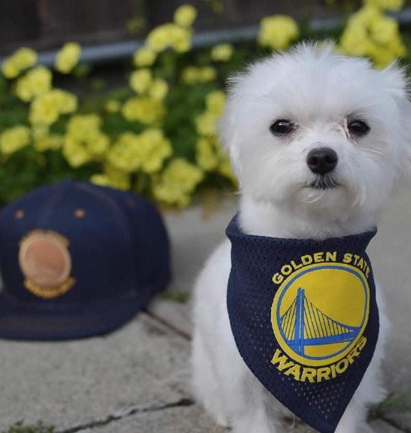 <div class='meta'><div class='origin-logo' data-origin='none'></div><span class='caption-text' data-credit='Photo submitted to KGO-TV by @cuddly_chase/Instagram'>A dog shows off Warriors pride on Wednesday, May 17, 2017.</span></div>