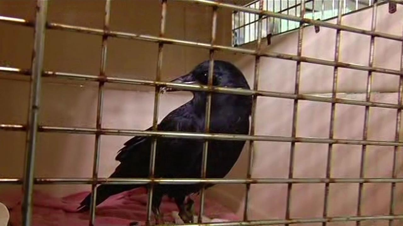 This image from Wednesday, November 4, 2015 shows Marley the crow, who was returned to Wildlife Center of Silicon Valley thanks to an alert woman in San Jose, Calif.