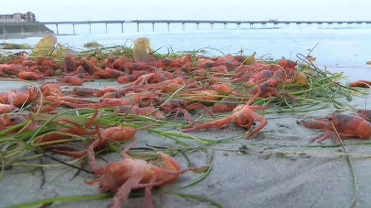 dead crustaceans on beach