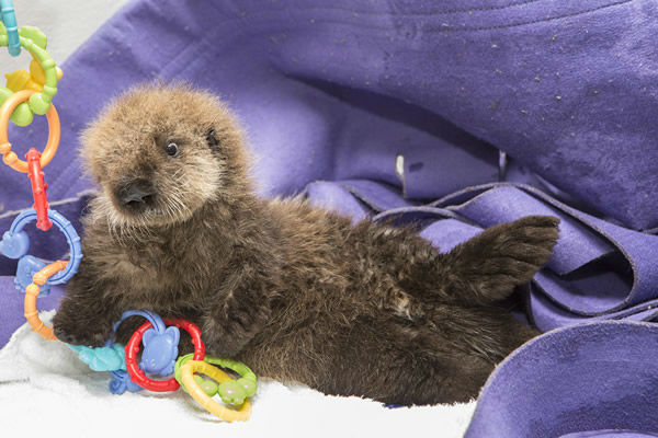 """<div class=""""meta image-caption""""><div class=""""origin-logo origin-image """"><span></span></div><span class=""""caption-text"""">The orphan baby otter is getting the round-the-clock care that she needs to thrive at Shedd Aquarium.  She spent the first four weeks of her life at the Monterey Bay Aquarium. (©Shedd Aquarium/Brenna Hernandez)</span></div>"""