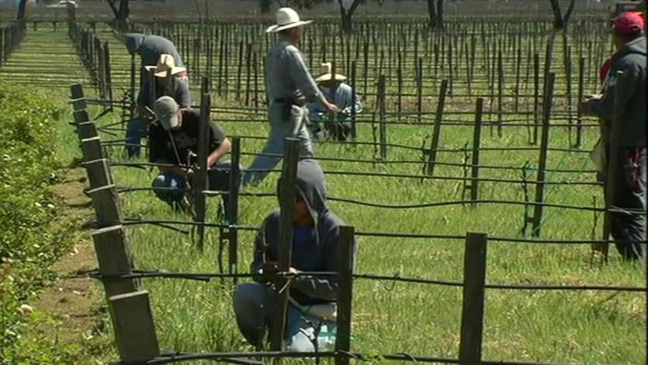 This unadted image shows people working at a Napa vineyard.
