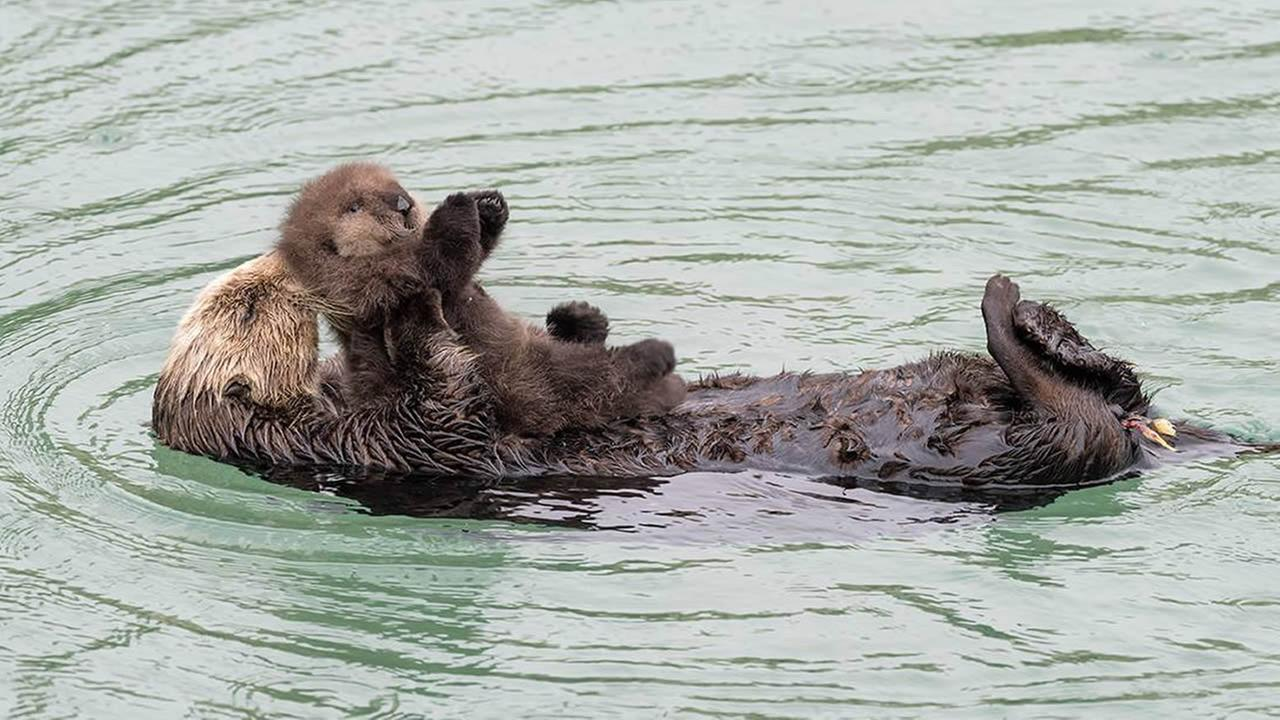 A wild baby sea otter was born at the Monterey Bay Aquariums Great Tide Pool in Monterey, Calif. on Sunday, December, 20, 2015.