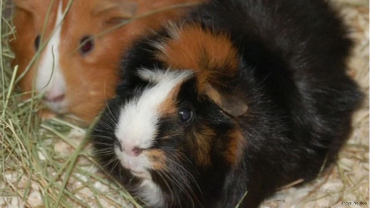 Jenny, an elderly guinea pig, was taken from Andys Pet Shop two days ago.