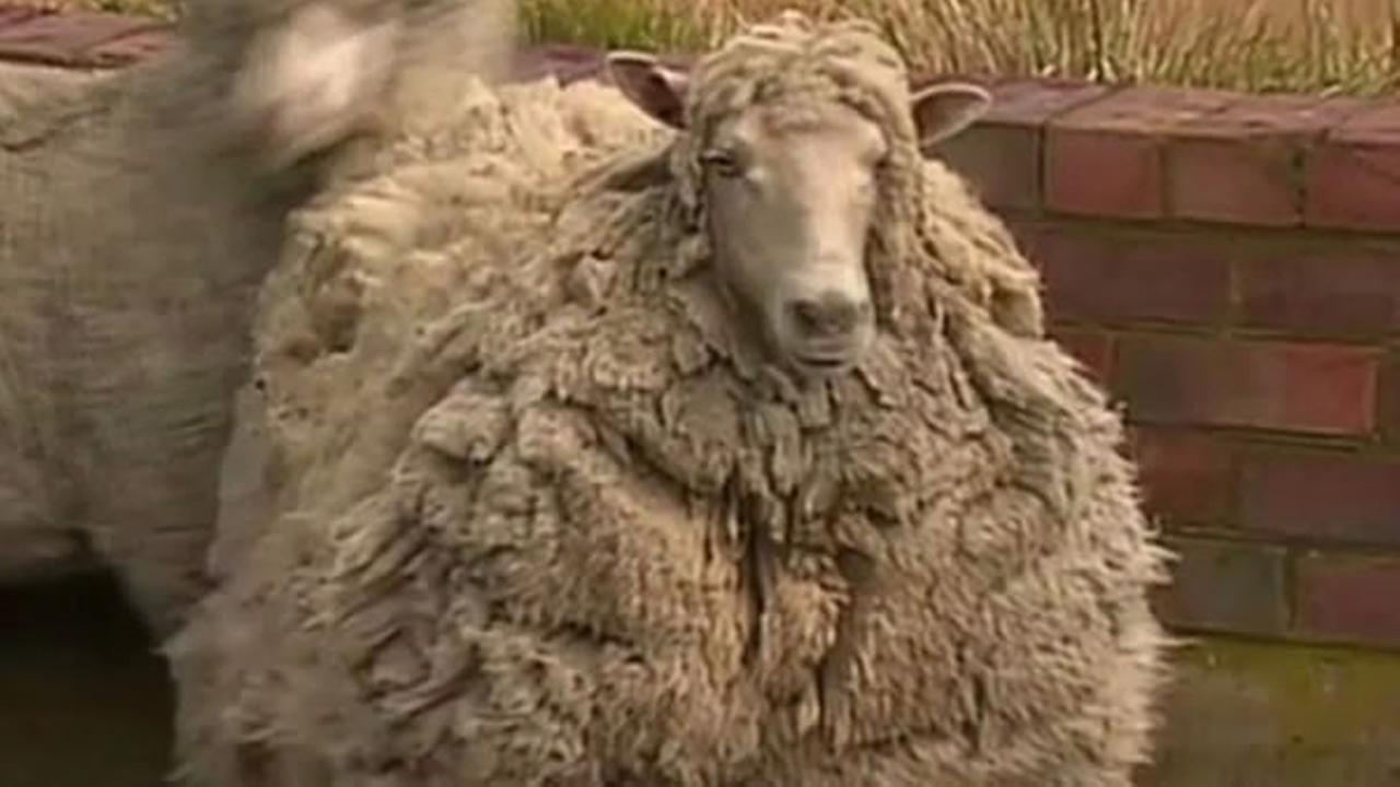 Shiela the sheep hadnt gotten a haircut in seven years after escaping from an Austrlian farm.