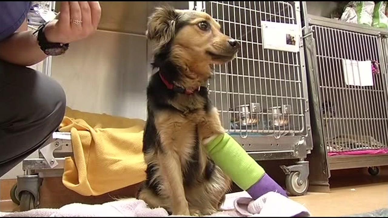 A dog that survived a fall off an overpass in Brentwood, Calif. is seen on Friday, January 8, 2016. Bella needs more surgery that will cost her owners more than $10,000.