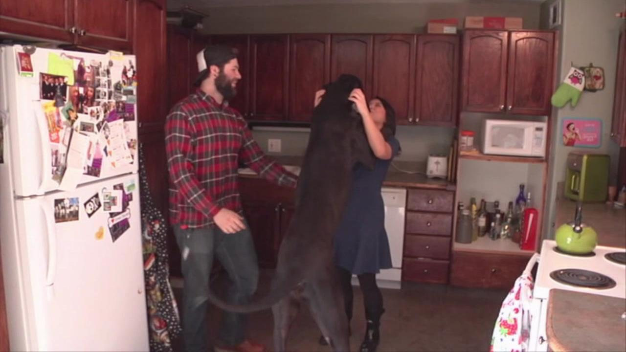 This undated image shows Rocko, an enormous Great Dane in Sparks, Nevada that may be the tallest living dog in the world.KGO-TV