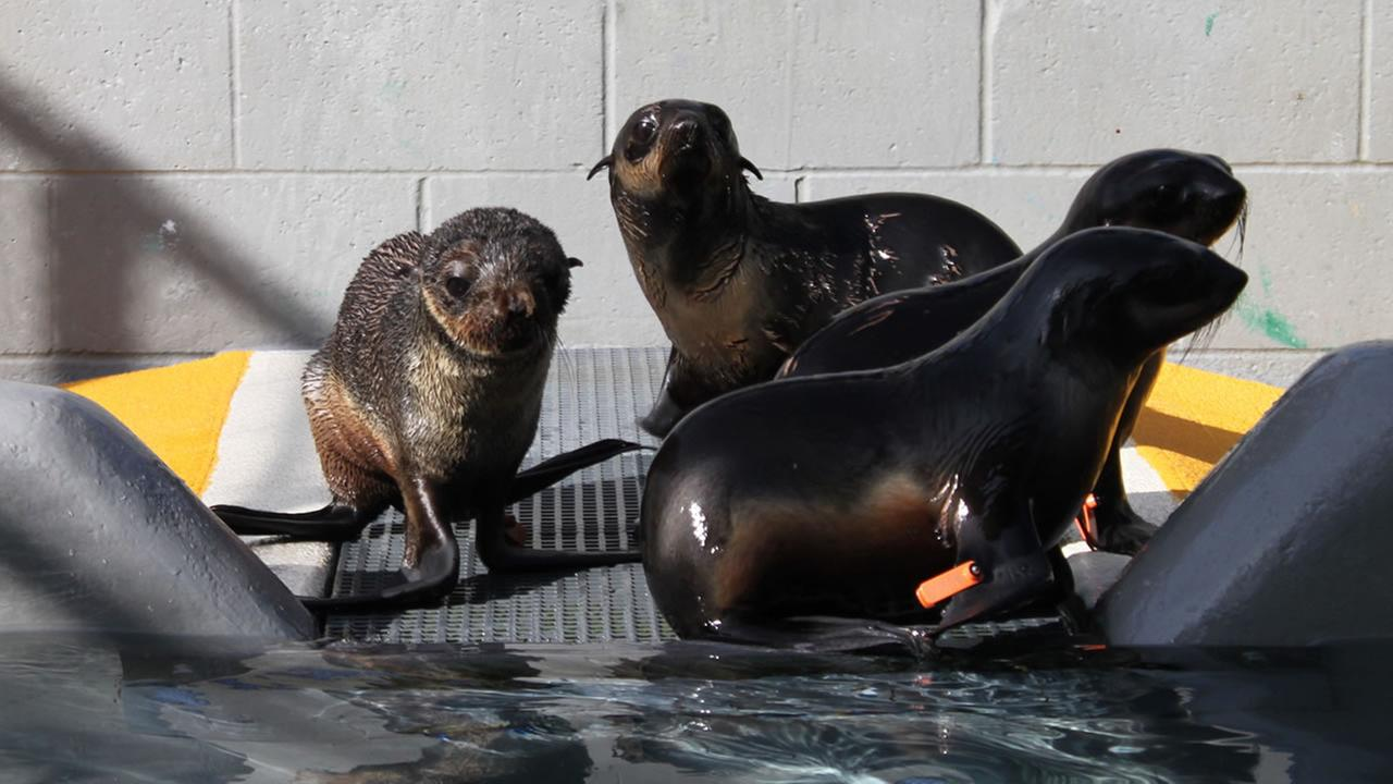 A northern fur seal named Pipester, pictured left, is recovering after he was found in the bushes at a business park in Hayward, Calif. on Wednesday, January 20, 2016.The Marine Mammal Center