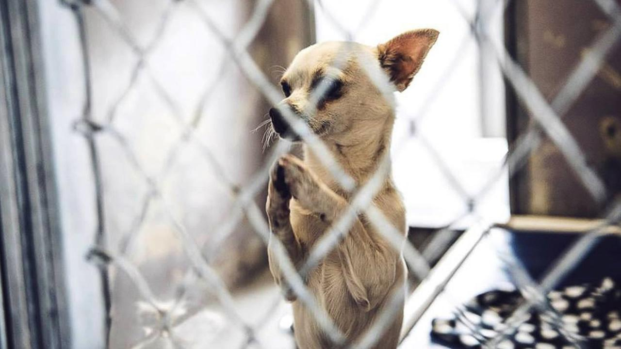 A Chihuahua that was photographed praying for love on January 11, 2016 at a shelter in Baldwin Park, Calif. was adopted five days later.