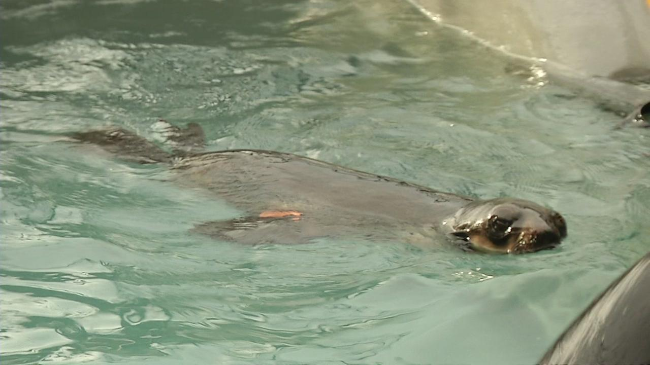 A northern fur seal named Pipester that was found in Hayward, Calif. on January 20, 2016 is seen recovering at the Marine Mammal Center in Sausalito, Calif. the next day.