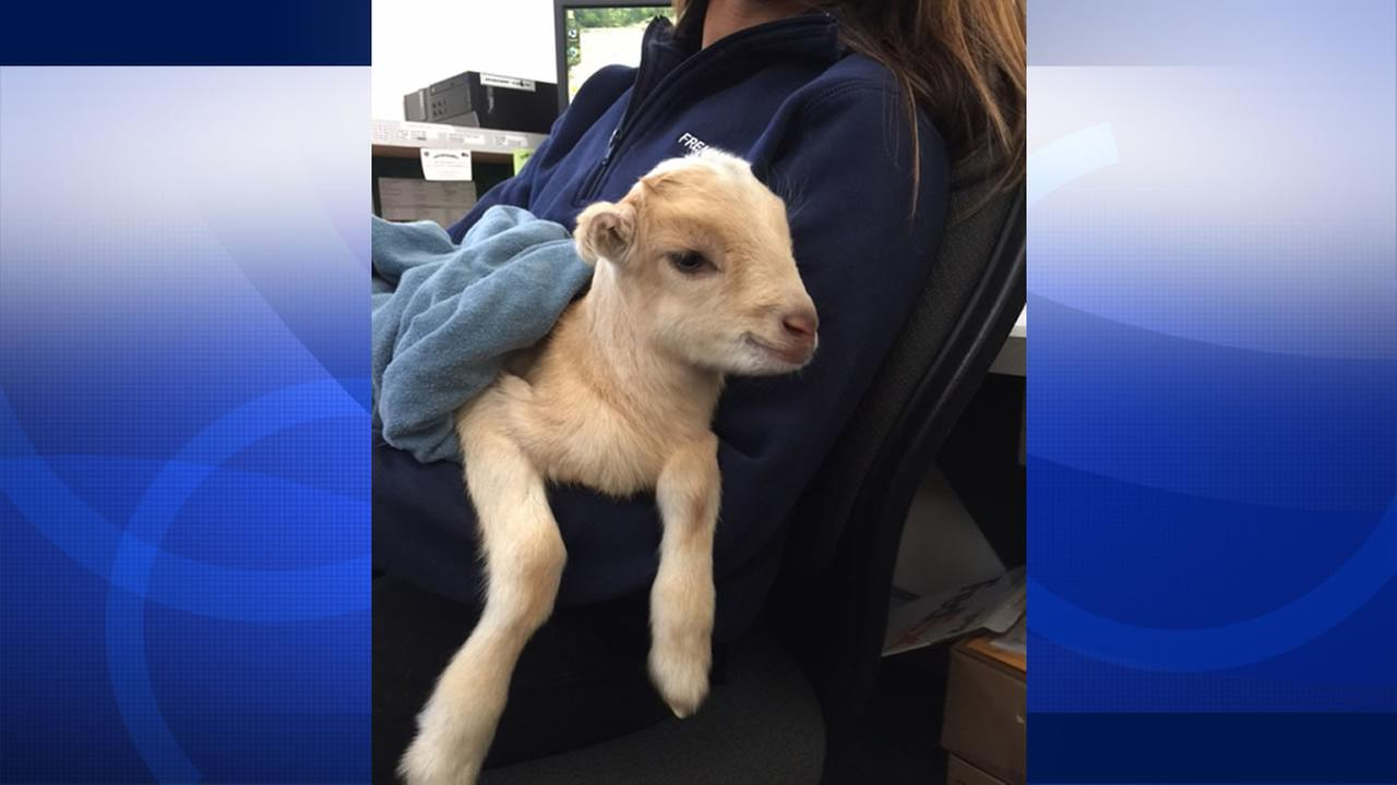 Animal services are looking for the owner of a baby goat found wandering the streets of Fremont, Calif. Thursday, Jan. 28, 2015.