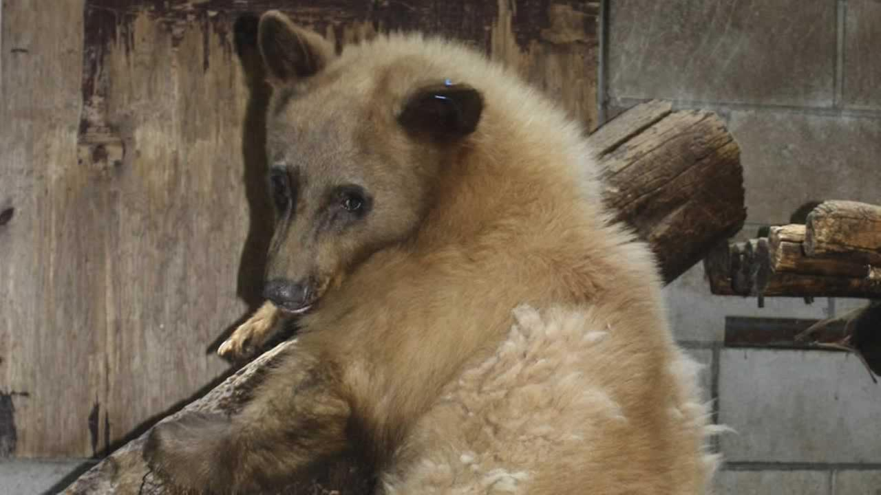 Heavenly the bear was found injured at Heavenly Mountain Resort in March.