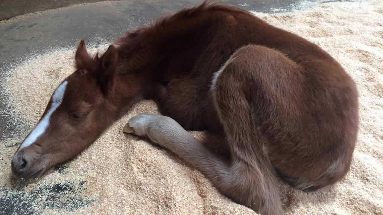 A baby horse named Valentine was rescued from a ravine in Fremont, Calif. on Sunday, February 14, 2016.Fremont Police Department/Facebook