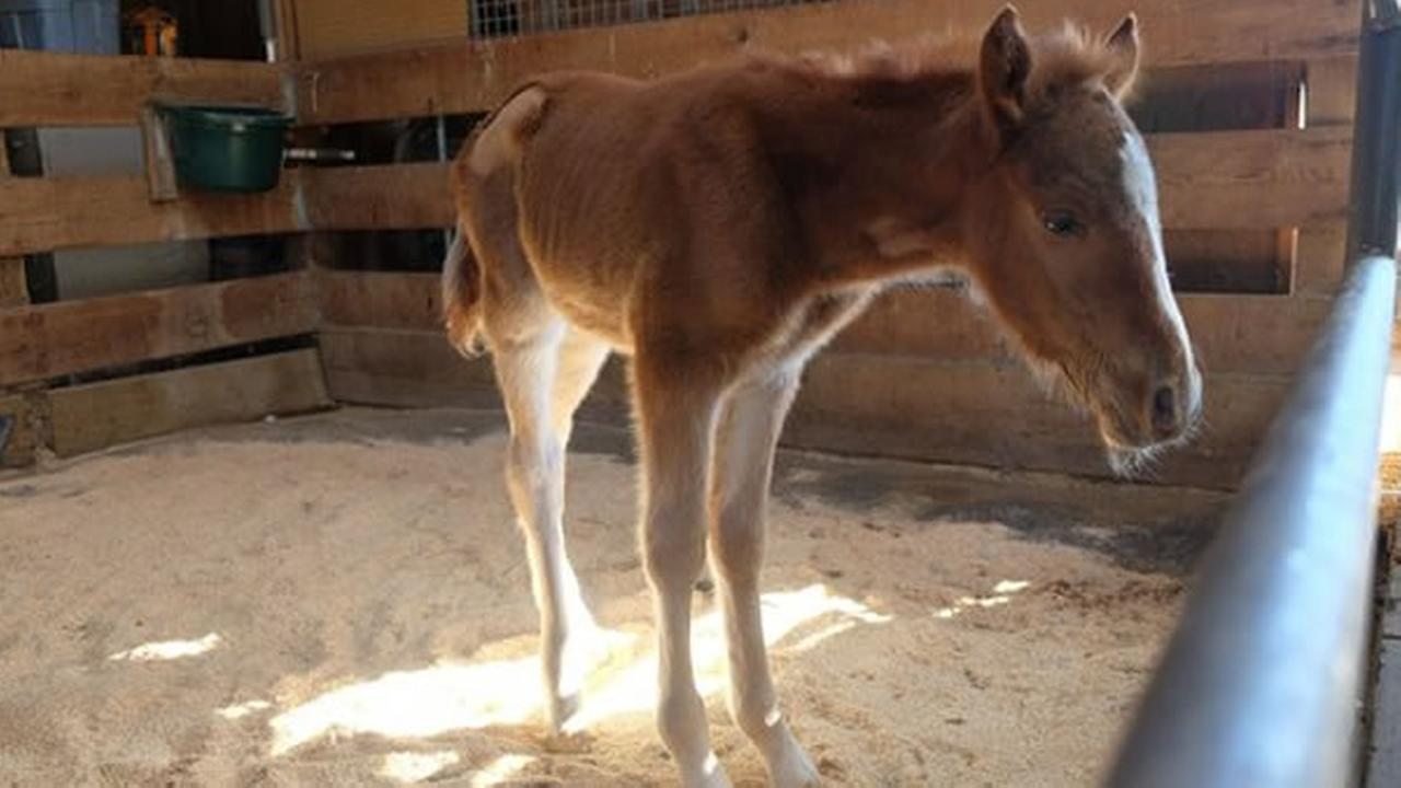 A baby horse was rescued from a ravine in Fremont, Calif. on Sunday, February 14, 2016.KGO-TV