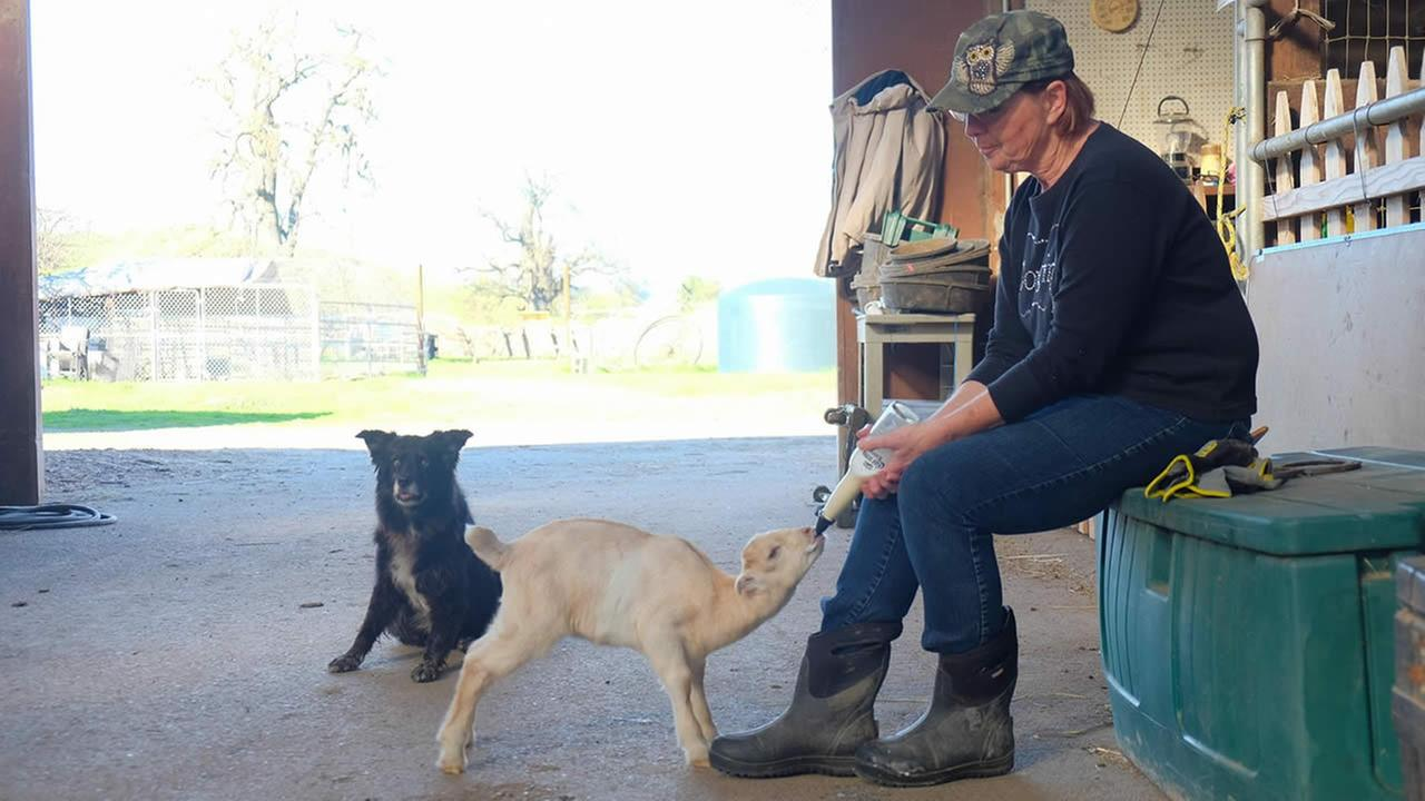 Diane Offutt, who runs Owls Crossing Ranch in Pleasanton, Calif., donated the barn space and feed to help a tiny horse rescued in Fremont, Calif. on February 14, 2016.KGO-TV/Wayne Freedman