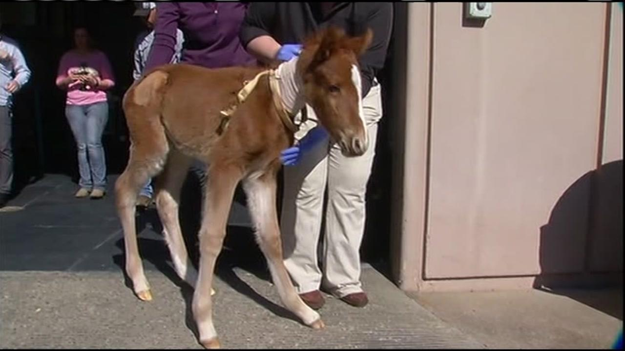 A baby horse named Valentine that was rescued from a ravine in Fremont, Calif. is seen in Davis, Calif. on Tuesday, February 16, 2016.KGO-TV