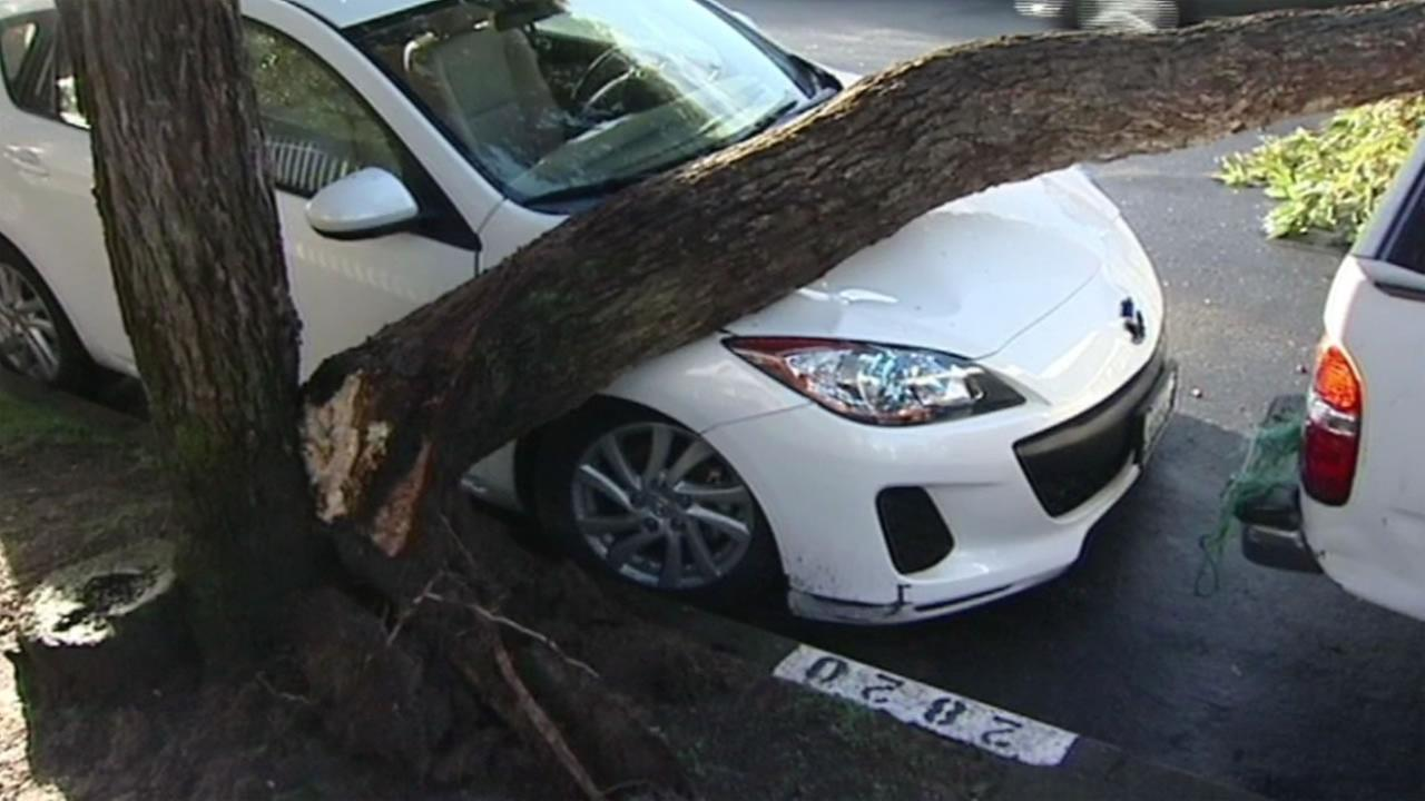 A tree fell onto a cars hood in San Franciscos Seacliff neighborhood on Thursday, February 18, 2016.KGO-TV