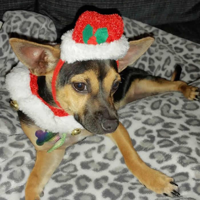 "<div class=""meta image-caption""><div class=""origin-logo origin-image none""><span>none</span></div><span class=""caption-text"">A dog wearing a holiday hat is seen in this undated image. (Photo sent to KGO-TV by @redkat33/Instagram)</span></div>"