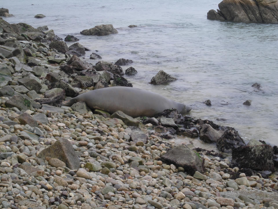 <div class='meta'><div class='origin-logo' data-origin='none'></div><span class='caption-text' data-credit='NPS Photo/Sarah Codde/NMFS Permit No. 17152-00'>&#34;Tolay&#34; the elephant seal pictured at her initial release location at Point Reyes National Seashore, Calif. on Tuesday, December 29, 2015.</span></div>