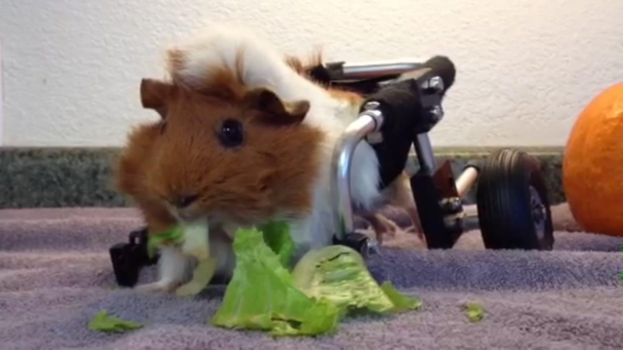 This undated image shows a wheelchair-bound guinea pig named Estella chowing down on a lunch of lettuce at Harvest Home Animal Sanctuary in Stockton, Calif.