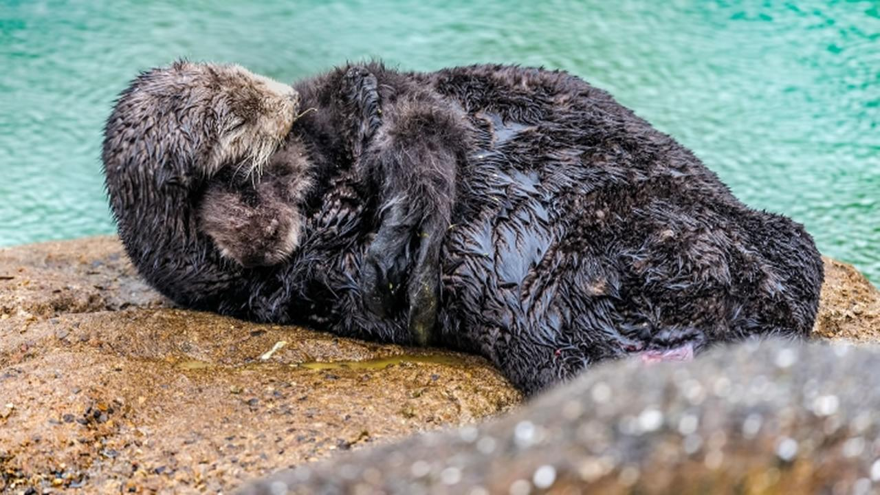 A wild sea otter that entered the Monterey Bay Aquariums Great Tide Pool in Monterey, Calif.  gave birth to a pup Saturday, March 5, 2016.
