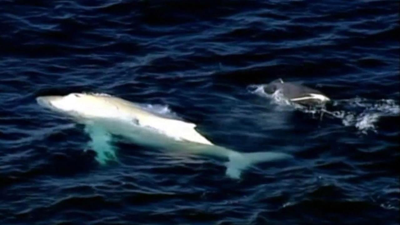 Rare albino humpback whale spotted near Australia