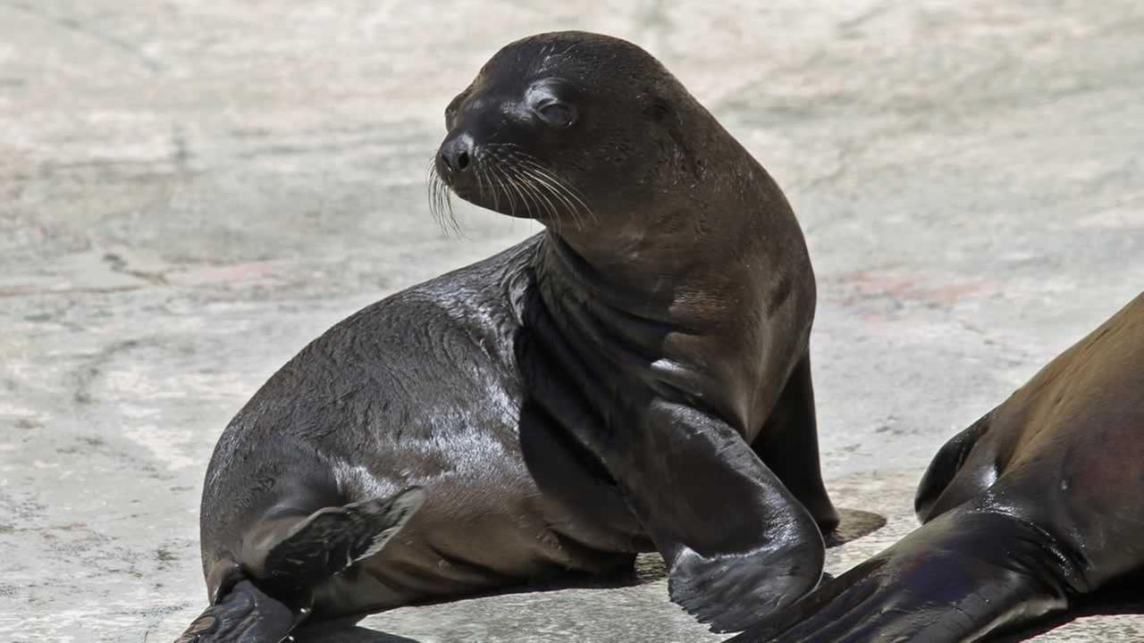 The female California sea lion pup, named Pebbles, weighed 15 pounds when she is born on June 9, and is the third offspring of her mother, Alani.