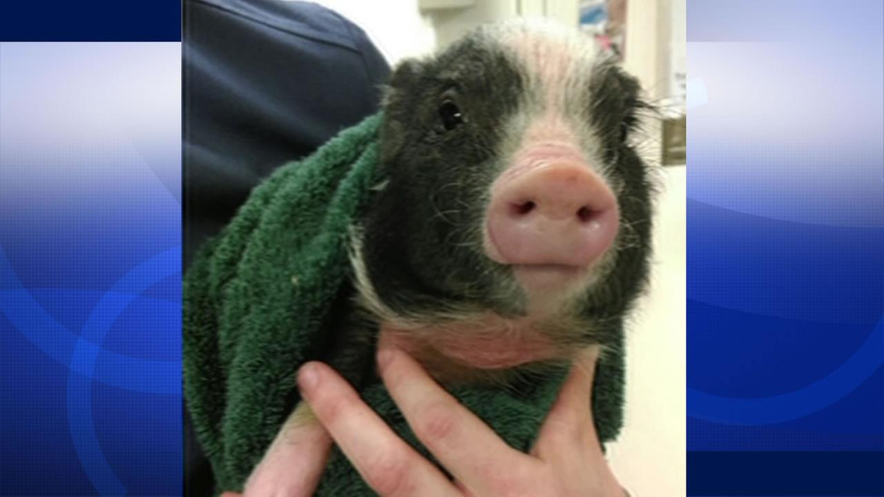 This image shows Janice the piglet after she was rescued by Brother Damian with the Society of Saint Francis in San Francisco, Calif. March 8, 2016.