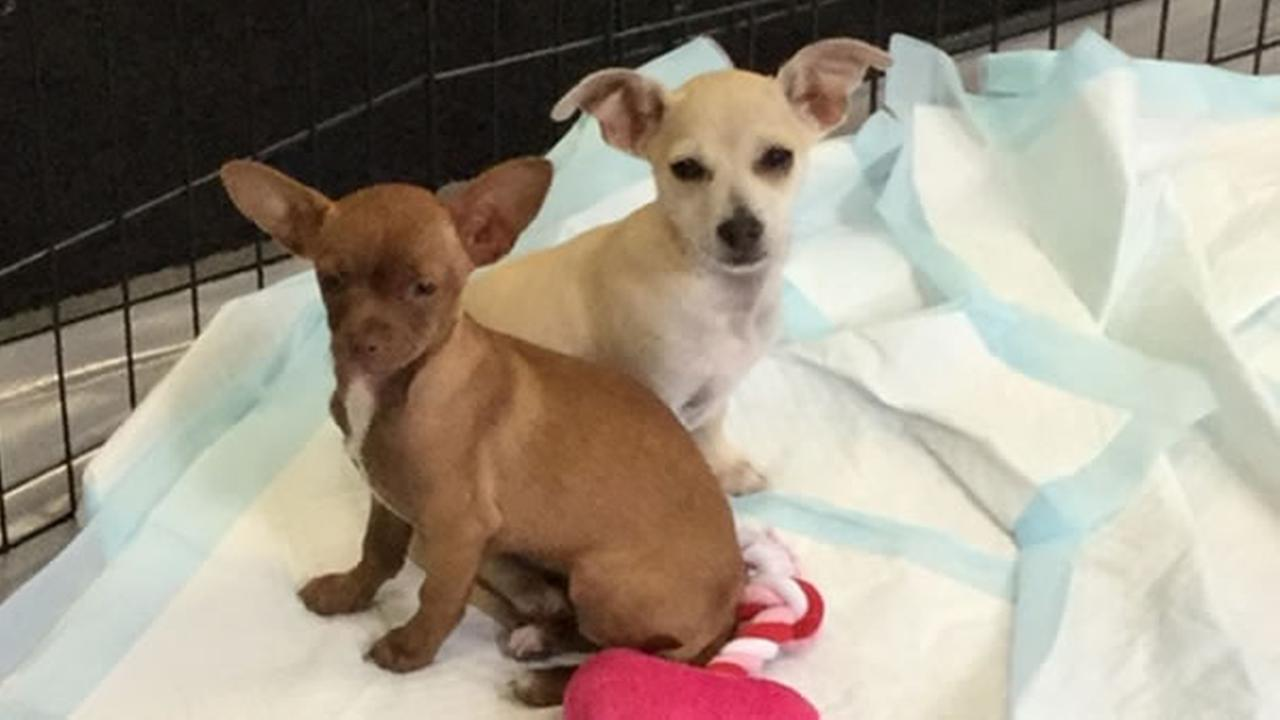 These two chihuahuas from East Bay SPCA are too cute!KGO-TV