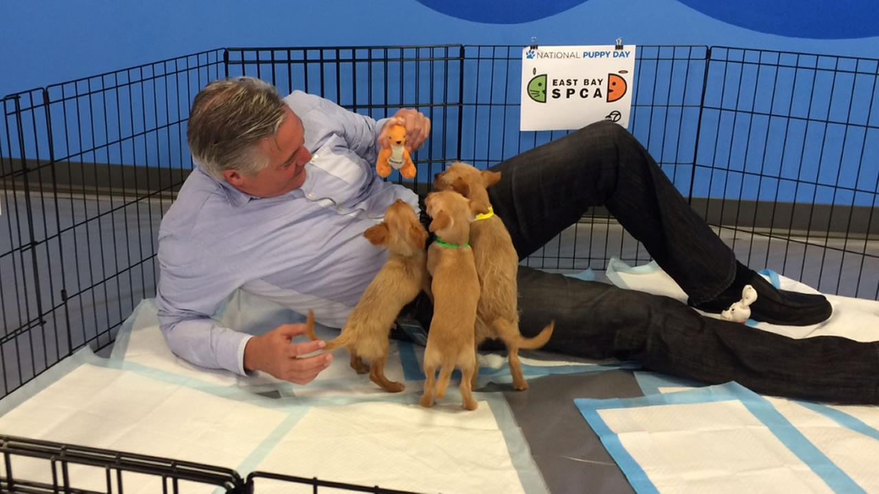 Dan Noyes is absolutely loving having all of these puppies from East Bay SPCA crawling all over him!KGO-TV