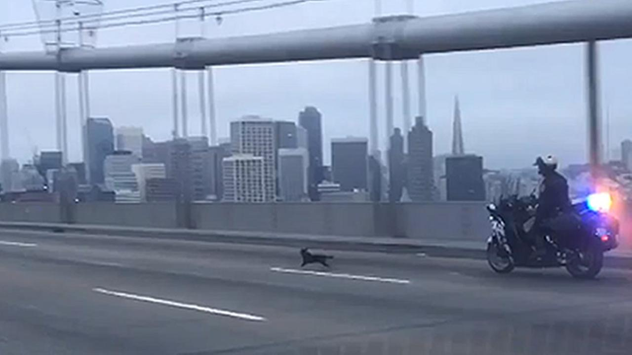 A CHP officer chases a missing chihuahua on the Bay Bridge in San Francisco, Calif. on Sunday, April 3, 2016.