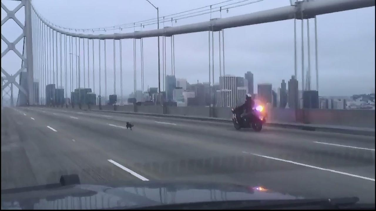 Officials are looking for the owner of this chihuahua that led CHP officers on a chase across the Bay Bridge on Sunday, April 3, 2016.SF Animal Care & Control