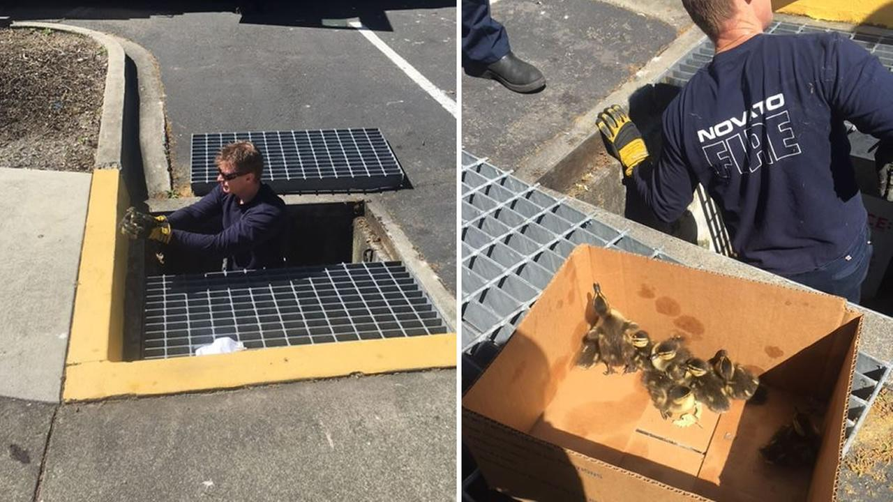 Ten ducklings were rescued from a storm drain in Novato, Calif. on Monday, April 4, 2016.