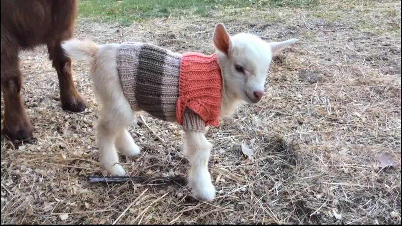 This is an image of a baby goat in a sweater at the Sunflower Farm Creamery in Maine.