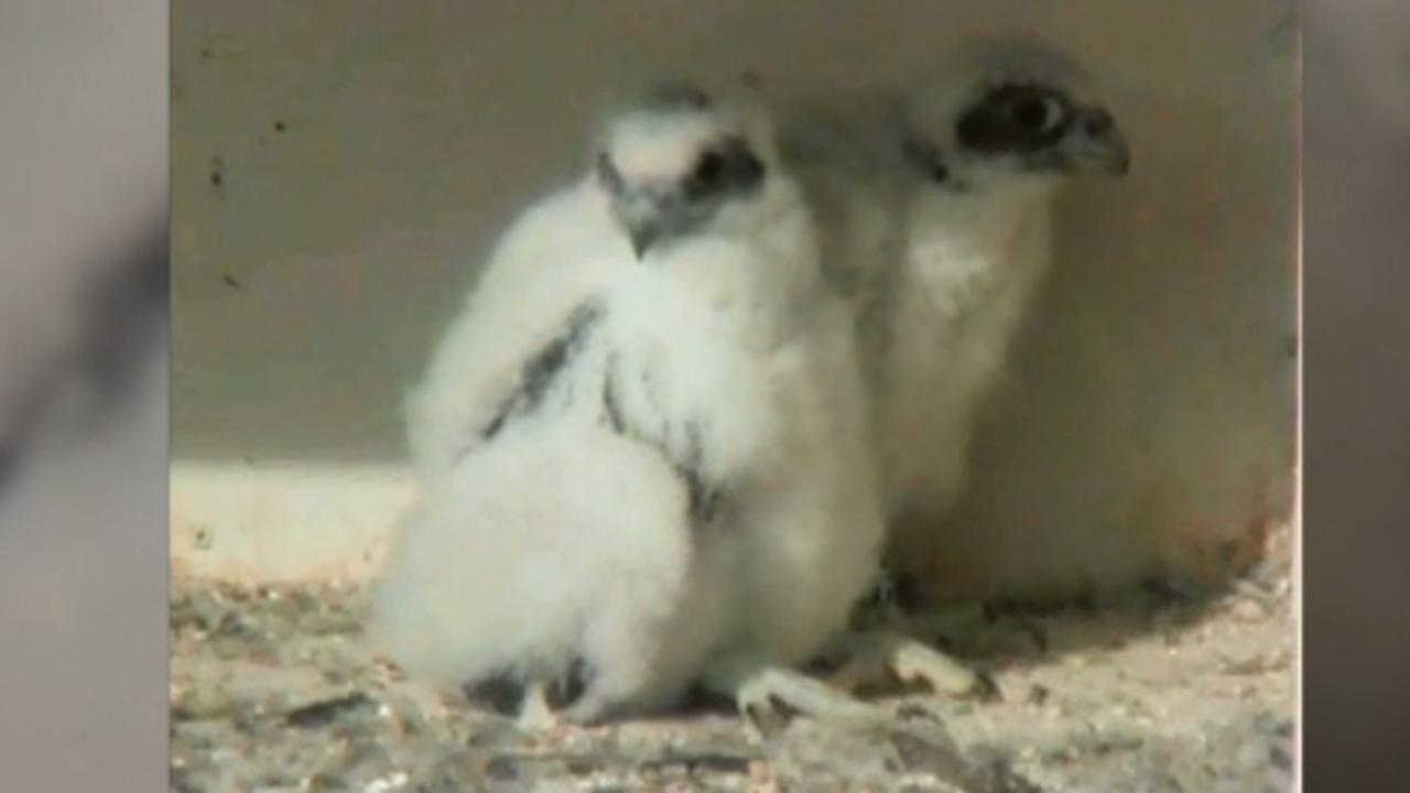 The falcon chicks, a male and a female, were born to parents Clara and Fernando El Cohete three weeks ago in San Jose, Calif.