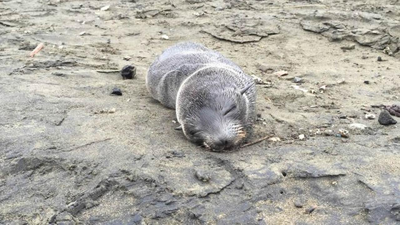 A malnourished seal was rescued from San Franciscos Ocean Beach on Wednesday, April 27, 2016.