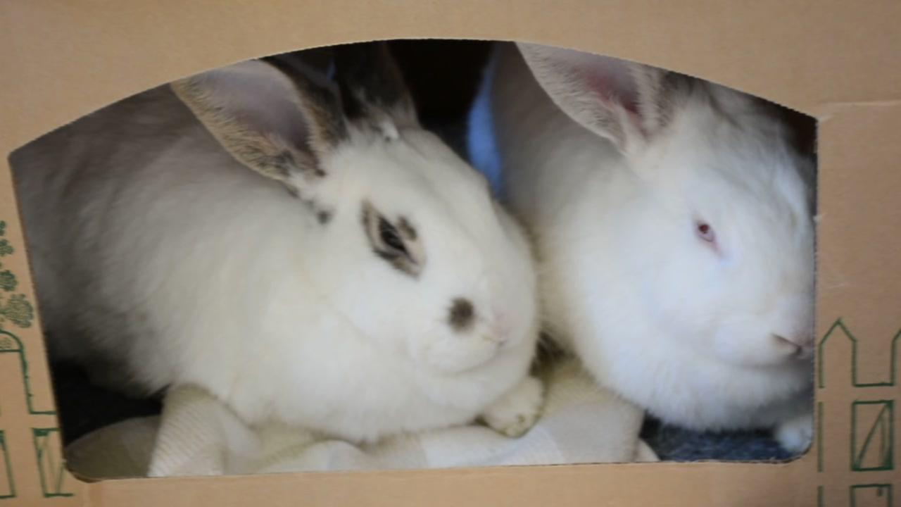 Meet this weeks perfect pets from Peninsula Humane Society and SPCA -- Crystal and Camille, two friendly rabbits who are looking for a forever home together!