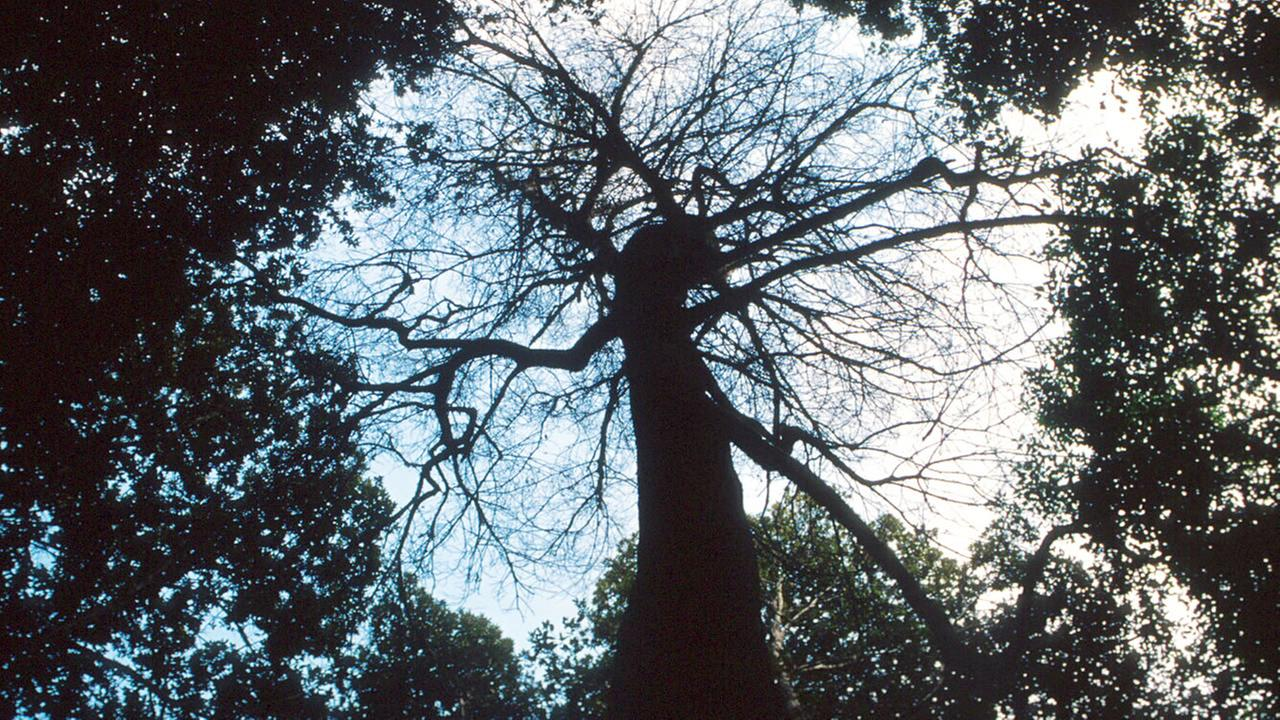 A tanoak tree, decimated by sudden oak death disease, stands in the midst of other trees in southwest Oregon in 2001.