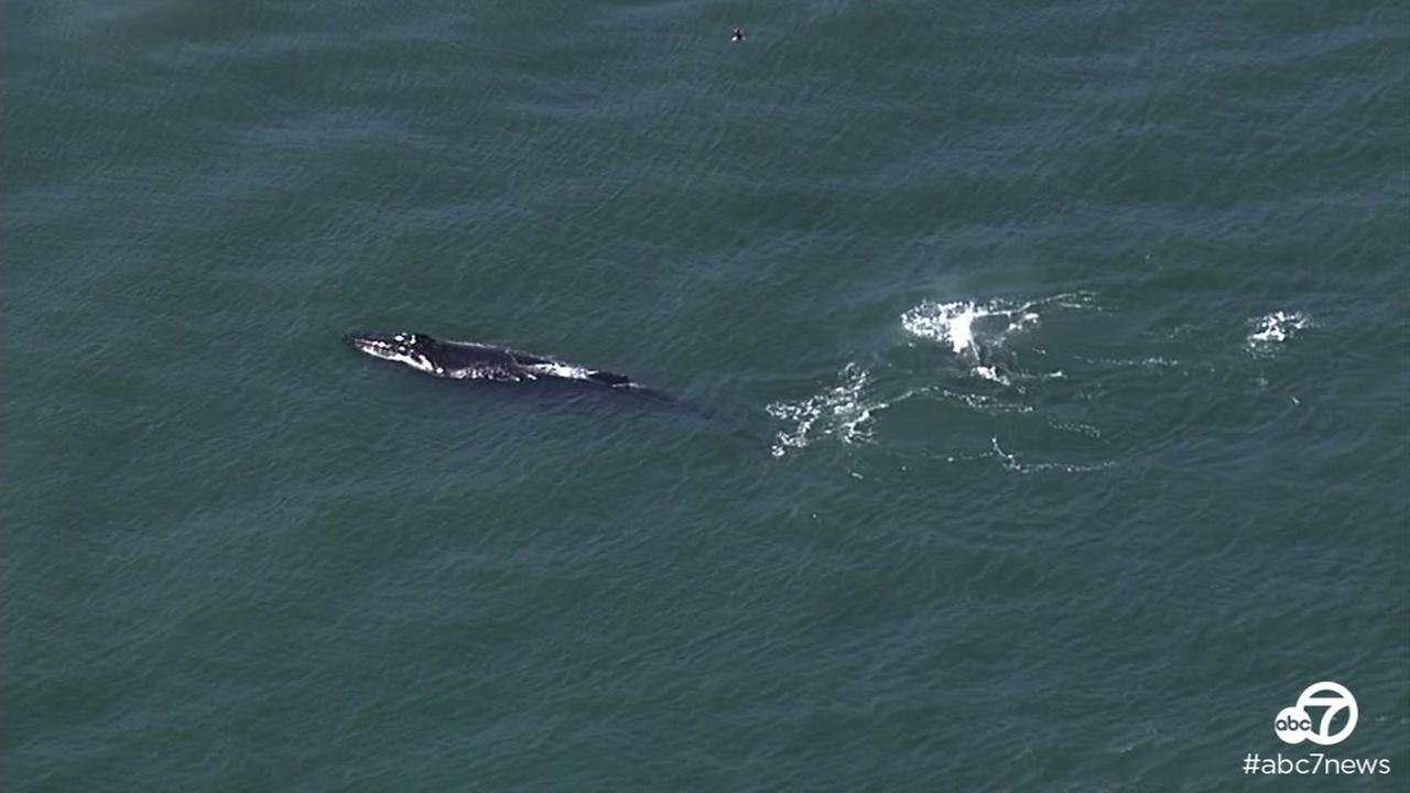 Humpback whales were spotted swimming in San Francisco Bay on Thursday, May 12, 2016.