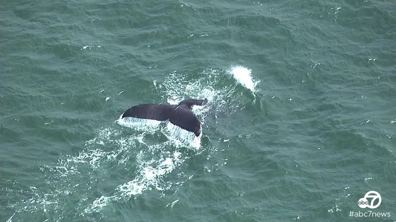 Humpback whales were spotted swimming off the coast of Lands end near San Francisco on Friday, May 13, 2016.