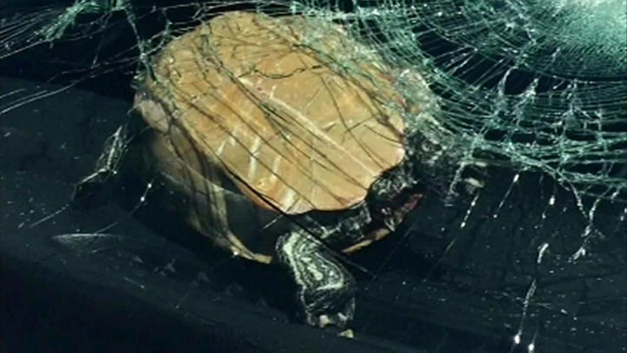 This undated image shows a turtle that crashed through the windshield of a car in Florida.
