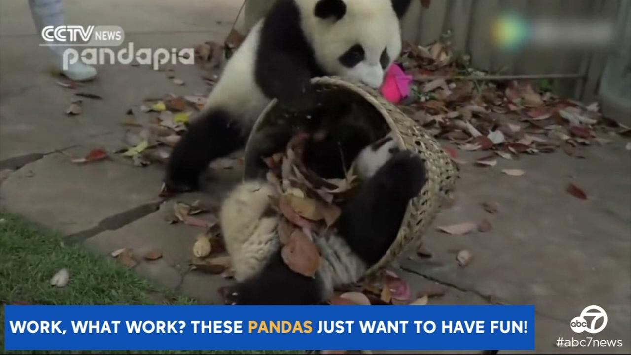 This undated video image shows pandas distracting a zookeeper in China.