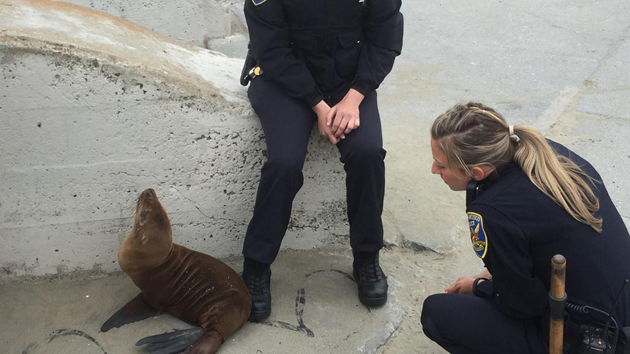 San Francisco police helped rescue a sea lion along the Great Highway, Monday, May 30, 2016.