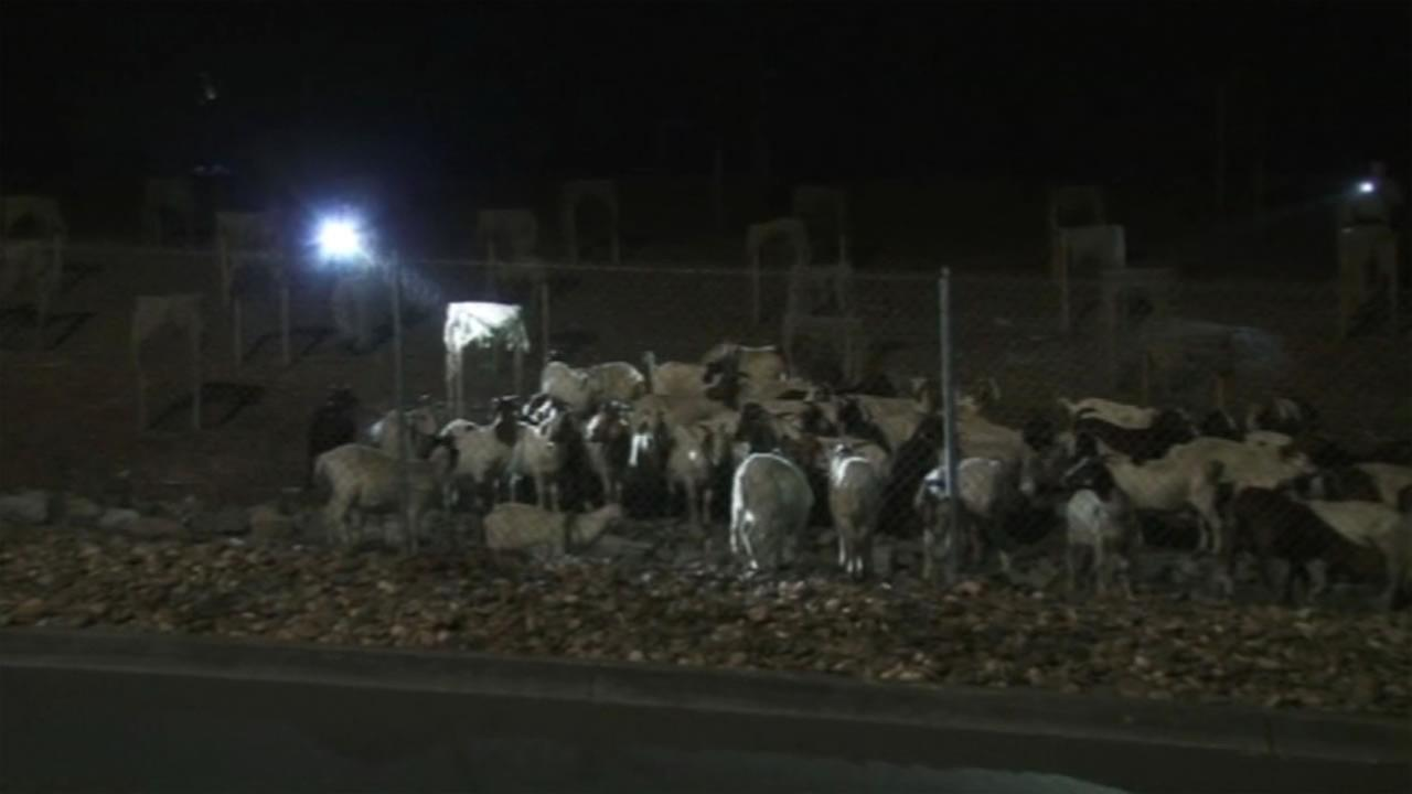 The CHP was forced to herd dozens of goats away from the area of the Caldecott Tunnel on Wednesday, June 8, 2016.